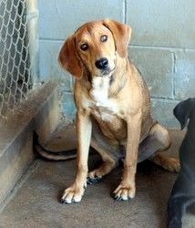 Jacqueline is an adoptable Redbone Coonhound Dog in Prince Frederick, MD. Jacqueline is a 1 yr old female hound mix.  She is as sweet as her picture and full of playfullness.  Rescued from a shelter d...