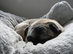 Pug in pillow