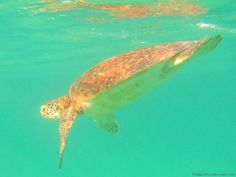 The DIY Guide to Snorkeling with Endangered Sea Turtles in Akumal Mexico