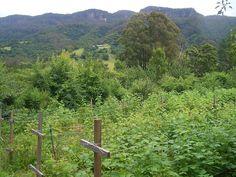 File:E9427-Wattamolla-raspberry-bushes.jpg