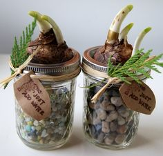 paperwhites – which are a nice reminder of spring in the middle of winter.  Paperwhite bulbs + mason jars + colorful stones