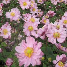Le 4 octobre 2015, #unjourunefleur, #promessedefleurs. Anémone du Japon - Anemone hupehensis var.japonica Fantasy Pocahontas - Variété compacte et très florifère, rose argenté à coeur d'or.