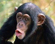 primates.com : great apes : chimpanzee