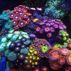 Wild Dives in the Coral Triangle Coral Reef Aquarium, Marine Aquarium, Coral Reefs, Aquarium Fish, Saltwater Aquarium, Arte Coral, Coral Art, Beautiful Sea Creatures, Deep Sea Creatures
