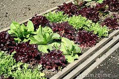 Salad Garden Bed - Download From Over 48 Million High Quality Stock Photos, Images, Vectors. Sign up for FREE today. Image: 3382123