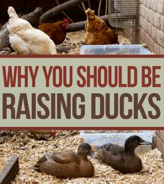 If you are raising chickens or think about it, learn why raising ducks are a superior alternative.