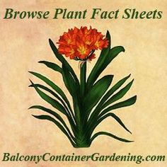 Browse Plant Fact sheets. This web page includes Plant Fact Sheets of popular container plants that you can grow in your balcony garden. Each page includes an illustration or photo, a short intro on the container plant, its scientific name, the plant type, how much light it needs, how to propagate it and any other information that you may need to succeed. Click link for everything you need to know to grow.