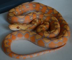 As the title states what is the difference? I aquired a young purple but I came across mochino On Bob Clarks Web page and can't see any difference. Exotic Animals, Exotic Pets, Beautiful Snakes, Beautiful Babies, Reticulated Python, Corn Snake, Pet Snake, Pets 3, Ball Python