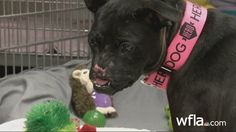 Khaleesi-abused pitbull rescued with no nose, 2                 broken legs and back:(                -HAPPY ENDING!!!:)