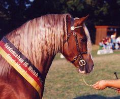 Menai Sparkling Magic, Welsh Cob stallion