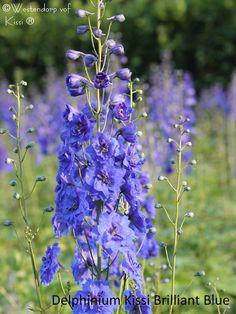 Delphinium Kissi Brilliant Blue; Westendorp (NL)