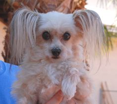 Frisco, darling boy, Papillon & Maltese, recovering from neglect, now ready for adoption at Nevada SPCA.  Before & After pictures: http://nevadaspca.blogspot.com/2015/05/frisco-before-after.html