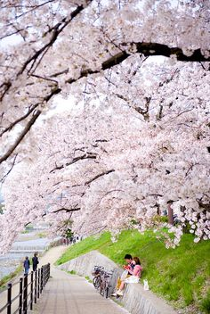 Cherry Blossoms Kyoto Japan