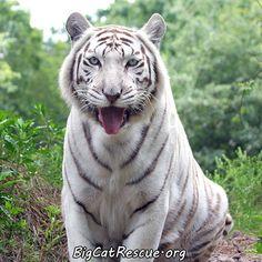 White Tigers love to swim!