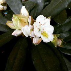 #Rododendro
