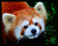 Cute and cuddly, but #didyouknow, A surprising fossil discovery of an ancient Red Panda species is revealed at only one site in the world. What remains uncovered? Find out: http://www.uhaul.com/SuperGraphics/257/Venture-Across-America-and-Canada-Modern/Tennessee