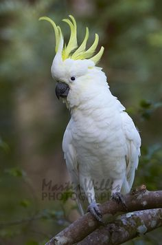 Australia, Sulphur-crested Cockatoos can be found widely in the north and east, ranging as far south as Tasmania, but avoiding arid inland areas with few trees. I searched for this on /images Pretty Birds, Beautiful Birds, Animals Beautiful, Cute Animals, Photo Canvas, Canvas Photos, Australian Parrots, Funny Birds, Parrot Bird