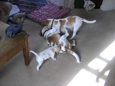 Beagle pups meet their dad, Happy Father's Day! http://m.youtube.com/watch?v=T-sPHb-7d_A