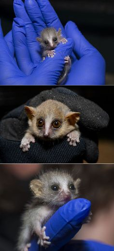 #Animal Fact: A whole family of mouse lemurs (mother, father, and two to three young) could fit neatly in the palm of your hand.