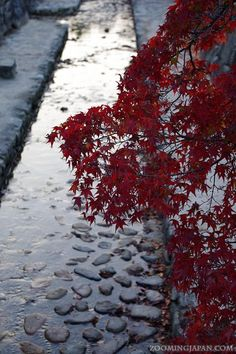 Momiji (autumn leaves) on Miyajima (Hiroshima Prefecture).