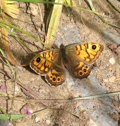 A speckled wood butterfly on the path through the fields on the way to walk to our woods from our holiday carriages in St Germans, Cornwall. Wood Butterfly, Cornwall, Fields, Woods, Holiday, Vacations, Holidays, Forests, Vacation
