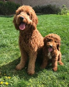 Best Types of Goldendoodle Haircuts! - We Love Doodles