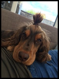 'Japanese' English cocker spaniel with top knot