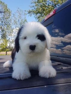 Are you looking for old english sheepdog names? Here is a collection of funny and cute old english sheepdog male/female dog name ideas. Super Cute Puppies, Cute Baby Dogs, Cute Little Puppies, Cute Dogs And Puppies, Cute Little Animals, Cute Funny Animals, Pet Dogs, Pets, Doggies