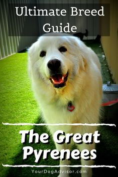 The great white mountain dog from the Pyrenees isn't like many other canines you're likely to find. Their steadfast poise and undying loyalty make them perfect… Pet Vet, Pet Dogs, Dogs And Puppies, Pets, Doggies, Large Animal Vet, Large Animals, Puppy Care, Dog Care