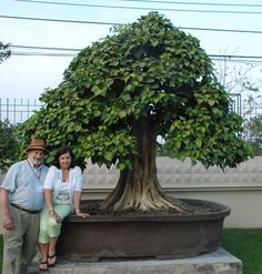 A live ficus  bonsai tree in Thailand this is so precious