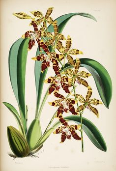 A monograph of Odontoglossum  by James Bateman.. London : L. Reeve & co., 1874.. biodiversitylibrary.org/page/270242