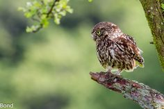 Little Owl out on the Hunt early Morning