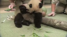 [VIDEO] Panda Playing With Ball. So Cute #funny #cute