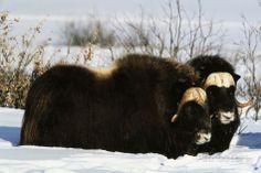 hugh-rose-musk-ox-bull-wildlife-arctic-national-wildlife-refuge-alaska-usa.jpg (473×315)