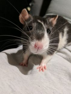 Been out of town for almost 2 weeks my girlfriend sent me this. I miss my ratties! (And my girlfriend of course) #aww #cute #rat #cuterats #ratsofpinterest #cuddle #fluffy #animals #pets #bestfriend #ittssofluffy #boopthesnoot