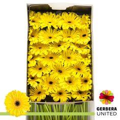 Gerbera, Office Supplies