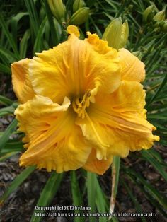 Daylily (Hemerocallis 'Bas Relief') in the Daylilies Database (All Things Plants)