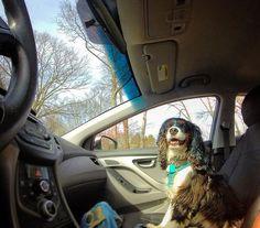 Sun shining en route to a hiking adventure = doggy copilot bliss!  Find me a cuter more contented copilot. I dare you.  #cavalierkingcharlesspaniel #adoptdontshop #adventuredog #weregoingonanadventure #adventuretime