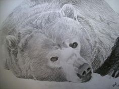 Grizzly Bear Original Pencil Sketch By Pigatopia Drawing by Shannon Ivins - Grizzly Bear Original Pencil Sketch By Pigatopia Fine Art Prints and Posters for Sale Realistic Animal Drawings, Pencil Drawings, Bear Sketch, Bear Tattoos, Bear Art, Sale Poster, Polar Bear, Colored Pencils, Fine Art Prints