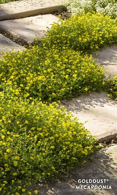 Proven Winners - GoldDust® - Mecardonia hybrid yellow plant details, information and resources. Yellow Plants, Yellow Flowers, Colorful Flowers, Border Plants, Proven Winners, Annual Flowers, Small Leaf, How To Grow Taller, Flowering Shrubs