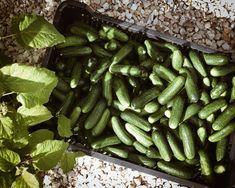 Így készül a tökéletes kovászos uborka - Hello, itt Mimi Pickles, Cucumber, Vegetables, Food, Pickling, Meal, Eten, Vegetable Recipes, Meals