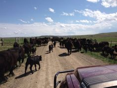 Calvin Christensen of Big Timber, #Montana moving cows and calves to summer pasture.
