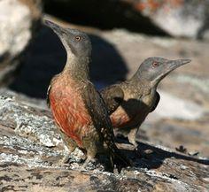 Ground Woodpecker on a Hottentots Holland Birding Tour © Callan Cohen.