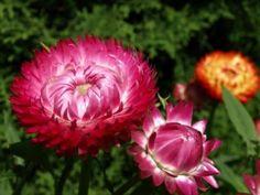 Strawflower Seeds - Bright Rose