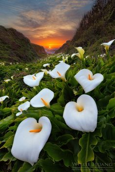 Sunset in Calla Lilies, Big Sur coast, California