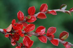 Nice close up study of fall colored leaves of cotoneaster plant | Cotoneaster horizontalis | Landscape Plants | Oregon State ...
