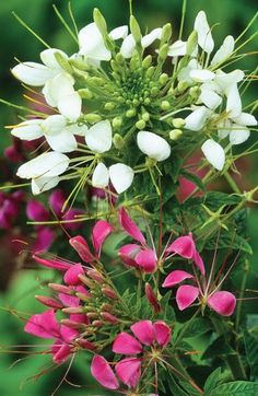 Cleome spinosa 'Colour Mix' - view all - flower seeds - seeds