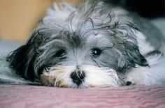 Havanese are generally healthy, but like all breeds, they're prone to certain health conditions. Not all Havanese will get any or all of these diseases, but it's important to be aware of them if you're considering this breed. Havanese Puppies, Cute Puppies, Cute Dogs, Dogs And Puppies, Doggies, Cavapoo, Teacup Puppies, Small Family Dogs, Best Small Dogs