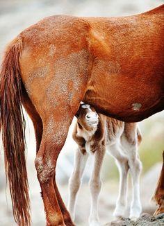 Peek a boo foal with Mom horses