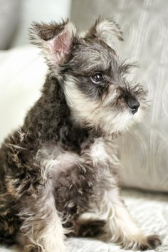"""Get excellent pointers on """"schnauzer pups"""". They are offered for you on our site. Schnauzer Mix, Miniature Schnauzer Puppies, Schnauzers, Schnauzer Grooming, Cute Puppies, Cute Dogs, Dogs And Puppies, Doggies, Animals And Pets"""